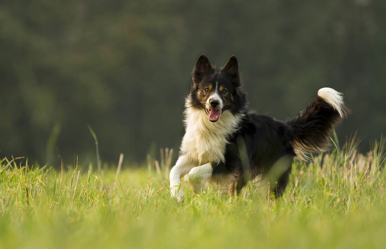Border collie - mutuelle chien