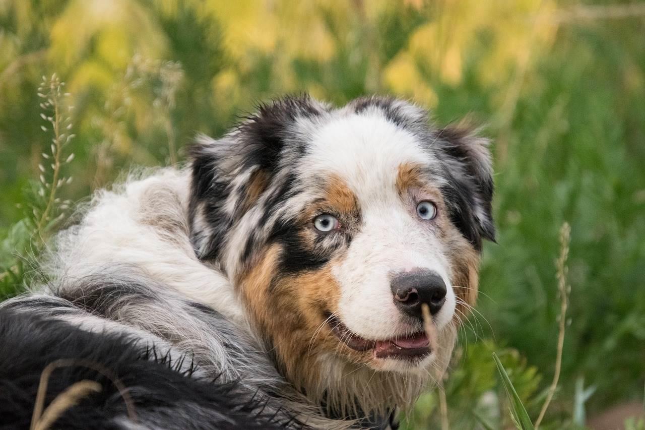 berger australien - mutuelle chien