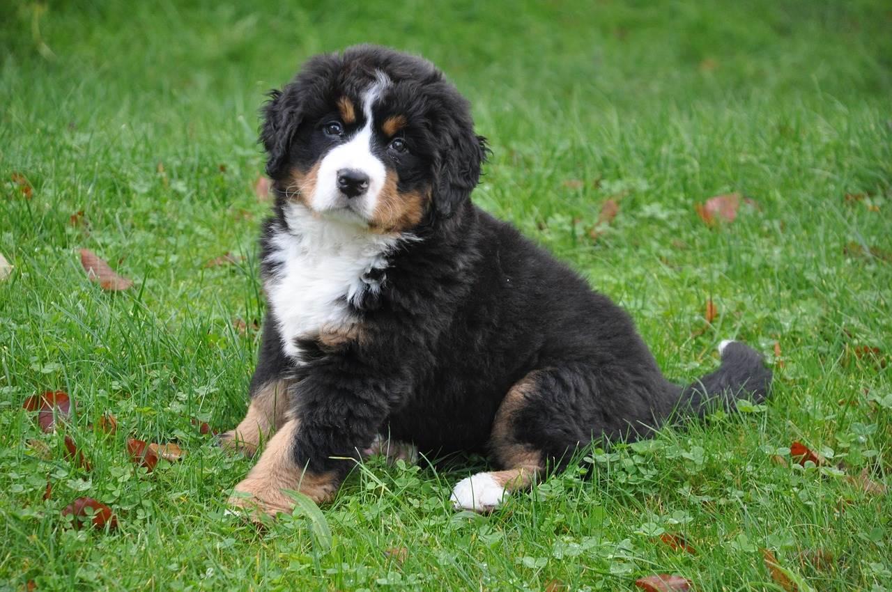 bouvier bernois - mutuelle chien