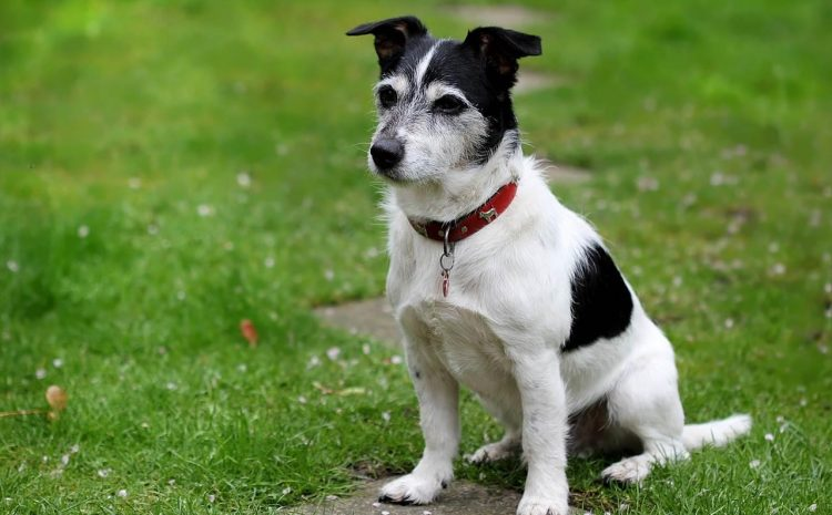 jack russell - mutuelle chien